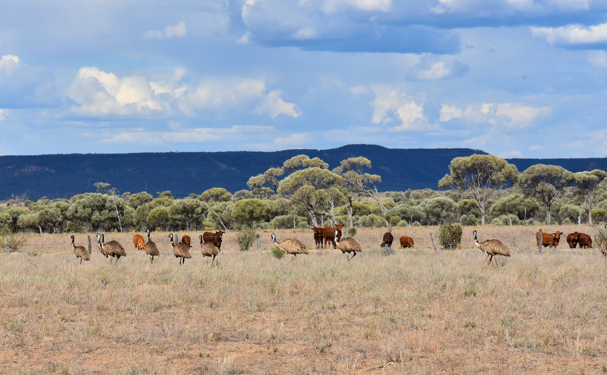 Dawn - Isisford - Emus with cows